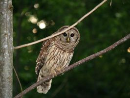 Who Who?! Barred Owl by wulfdragyn