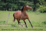 bay ottb head toss trot at camera by slime-stock