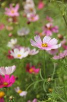 pink coreopsis by Dagger-dancer