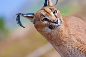 Caracal by LifeCapturedPhoto