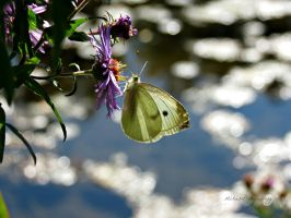 Focus - Cabbage White by Michies-Photographyy