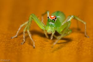 Magnolia green jumping spider 2 by CyclicalCore