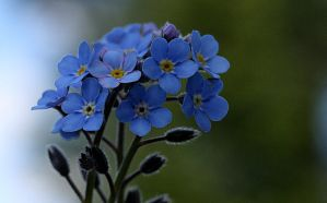 Blue forgetmenot by lapoall