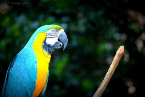 Macaw by Soul-Reader