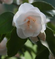 white camellia 5 by ingeline-art