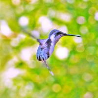 Ruby throated hummingbird by clippercarrillo