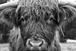 Scottish Highland Cattle by FrionR
