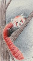 Red Panda by brittany4231