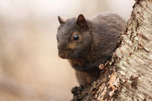 Black Squirrel by AlinaKurbiel