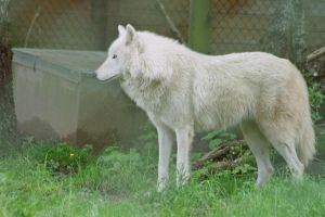 arctic wolf by Prinzess-Stock
