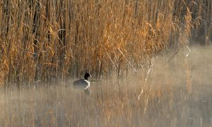 Coot in the Mist.. by quaddie