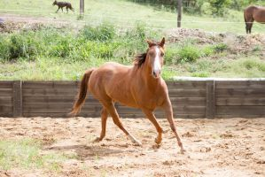 Km QH Chestnut trot front view by Chunga-Stock