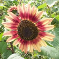 sunflower 2 by snikkio-stock