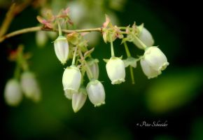White bells. by Phototubby