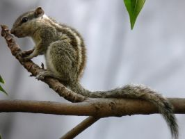 squirrel on tree 2 by kumarvijay1708