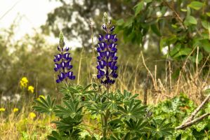 New year for lupins by ShlomitMessica