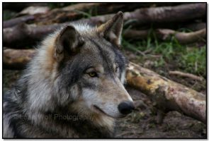 Predatory Perfection by LoneWolfPhotography