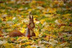 Sciurus vulgaris by Dark-Raptor