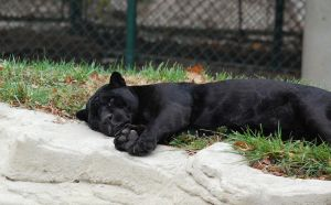 Snoozing black Jaguar by MagicCometART