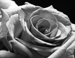 Rose- Black and White by AllisonWonderland000