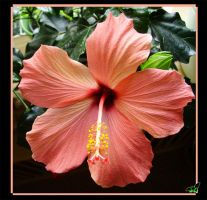 Hibiscus by Wild-Soul