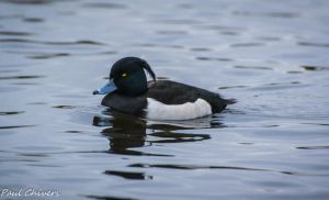 tufted duck looks angry by chivt800