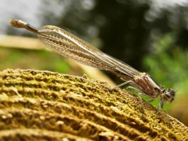 Brown Damselfly by iriscup