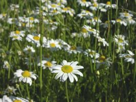 Marguerite by oOFloraNatureOo