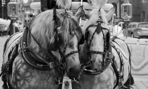 horses in harness 2 by Liadena