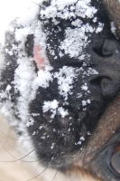 This pug's first snow. by pug-friends