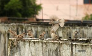 Sparrows by himphotography