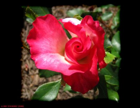Rose Swirl by annearchist