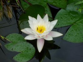 waterlily with insect by ingeline-art