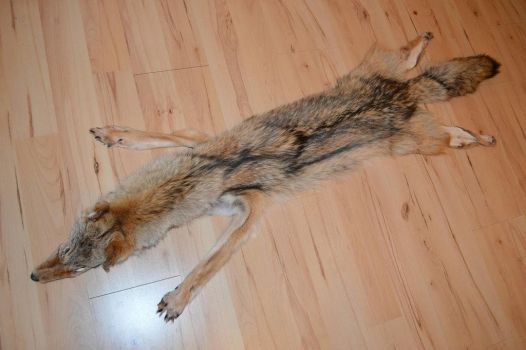 Coyote/ Brushwolf  pelt STILL for SALE by OinaWarrior-LoonaIto