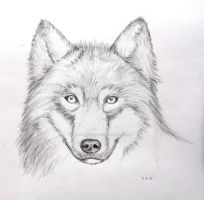 Wolf Face Pencil Drawing  Mark Pencil Drawings Of Wolves Faces