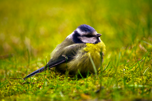 Parus Major by Yvonnev