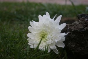 rock by my flower by Jupabalo98