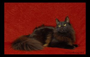 Norwegian Forest Cat 8 by fiamen