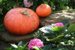 Pumpkins 04 by CD-STOCK by CD-STOCK