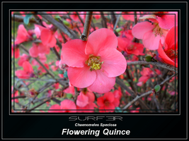 Flowering Quince by GrahamSurferAndrews