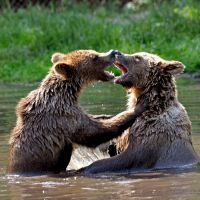 bear fight by Mjag