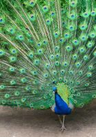 Peacock 6 by didyabringyagrog