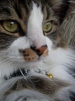 Norwegian Forest Cat Content by GarfieldP