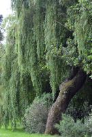 Weeping Willow Stock by jojo22
