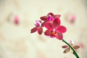 Orchidea II by Mad-Popietro