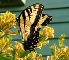 EasternTigerSwallowtail. by duggiehoo