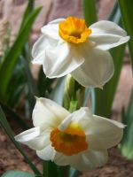 White Daffodils 3 by theNanna