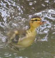Ducklings June 2014 2 7 by melrissbrook