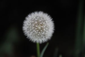 Dandelion by Toderico