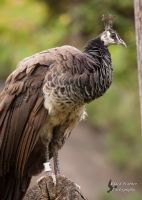 Peahen by EdgedFeather